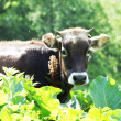 Brown cow — Stock Photo #6563448