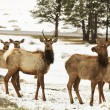 Elks - Stock Photo