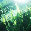 Fern — Stock Photo #6563894