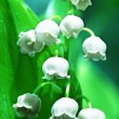 Lilly of the valley — Stock Photo #6565881