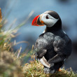 Stock Photo: Puffin