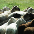 Sheeps — Stock Photo #6567861