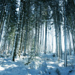 Winter forest - Stock fotografie