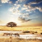 Zebra — Stock Photo #6569407