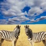 Zebra — Stok fotoğraf #6569409
