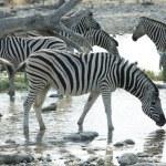 Zebra — Stok fotoğraf #6569419