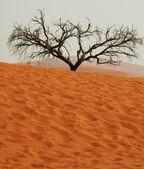 在沙漠中的树 — 图库照片