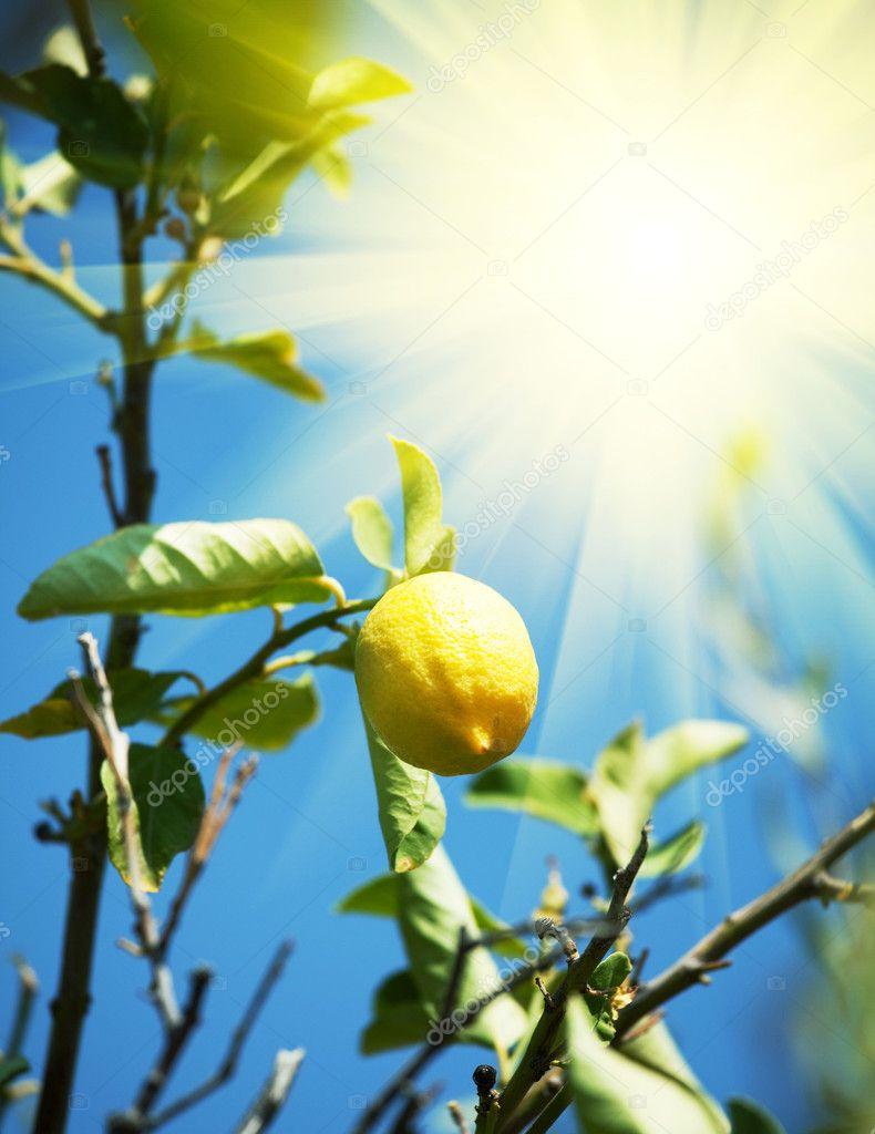 柠檬生长在柠檬树上