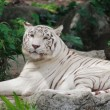 Relaxed Tiger — Stock Photo #5394568