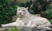Relaxed Tiger — Stock Photo
