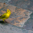 Stock Photo: Saffron Finch