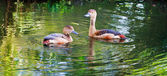 Whistling Duck — Stock Photo
