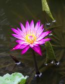 Fuschia lily — Stockfoto
