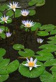 Tinged Lilies — Stock Photo