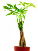 Braided Money Tree — Stock Photo
