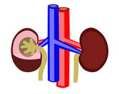 Kidney — Stock Vector
