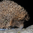 Hedgehog — Stock Photo #5494657