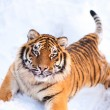 Tiger on the snow - Stock Photo