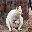 White albino wallaby - Stock Photo