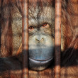 Orang-utan in the zoo - Stock Photo