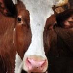 Cow portrait — Stock Photo
