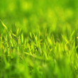 Grass close-up - Stock fotografie