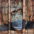Orang-utan in the zoo — Stock Photo