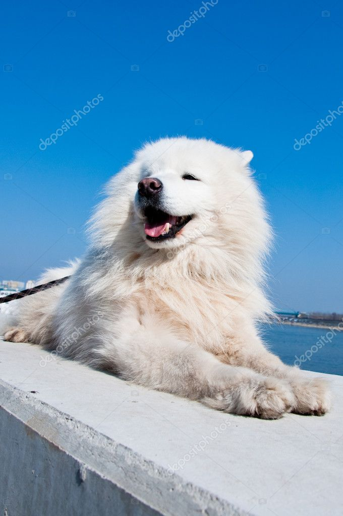 American eskimo dog, white samoyed, against blue sky in the back. — 图库照片 #5568408
