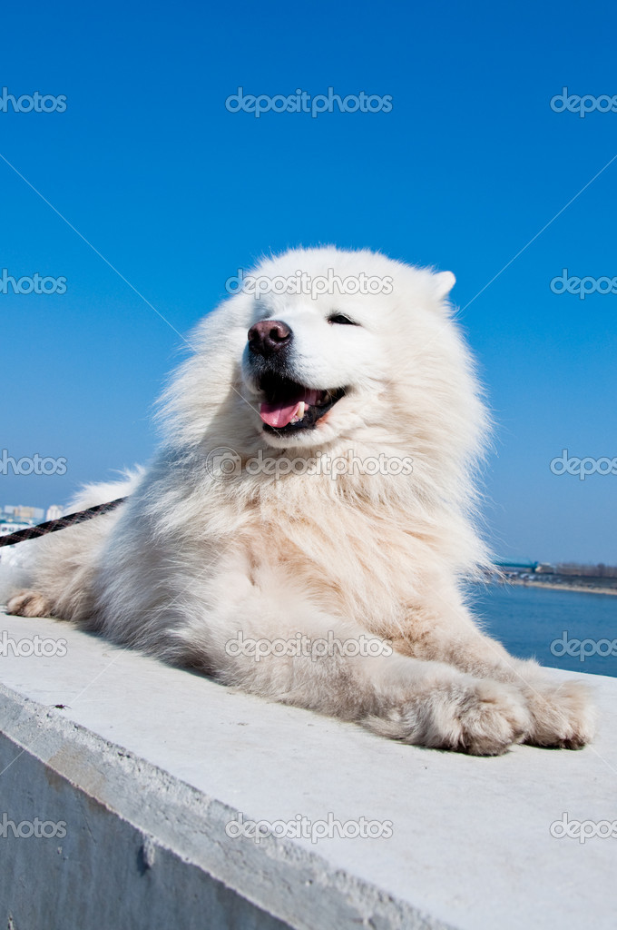 American eskimo dog, white samoyed, against blue sky in the back.  Zdjcie stockowe #5568408