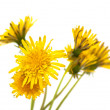 Dandelion — Stock Photo #5571936