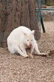 White albino wallaby — Stock Photo