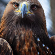 Golden Eagle — Stock Photo #5588903