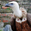 Griffon vulture -  