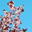 Foto Stock: Cherry blossom