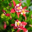Aquilegia Origami - Stock Photo