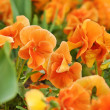 orange flowers — Stock Photo