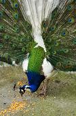 Blue peacock — Stock Photo