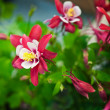 Aquilegia Origami — Stock Photo #5827180