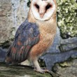 Barn owl — Photo