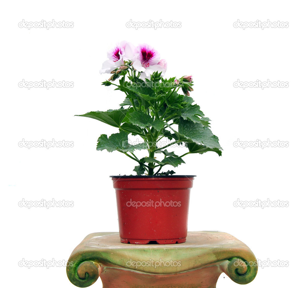 Pink flowers in a pot, close up image — Stock Photo #5869376