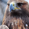 Golden Eagle - 图库照片