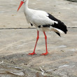 White Stork - Stock Photo