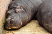 Hippo pair — Stock Photo