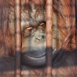 orang-outan dans le zoo — Photo