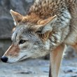 Coyote — Stock Photo #5982728