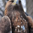 Golden Eagle — Stock Photo #5982759