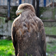 Hawk in zoo - Stock Photo