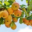 Pears on the branch — Stock Photo #6023967