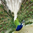 Blue peacock - Stock Photo