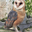 Barn owl — Stock Photo